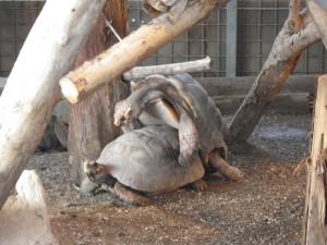 アカアシガメ親