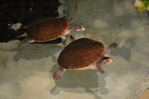 ニシキマゲクビガメ親