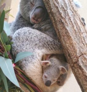コアラ赤ちゃん