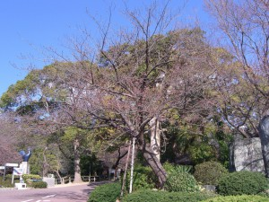 今日の桜25日