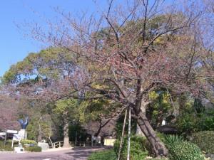 今日の桜27日