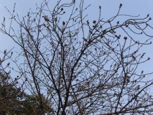 今日の桜2