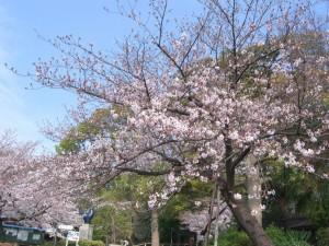 今日の桜3月31日