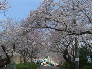 桜のトンネル3月31日