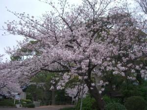 今日の桜1日