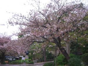 今日の桜10日