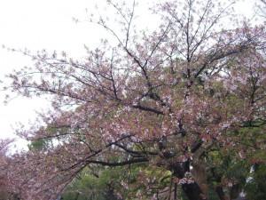 今日の桜11日
