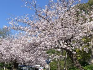 今日の桜2日