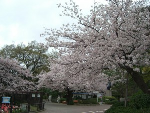 今日の桜3日