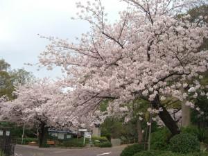 今日の桜4日