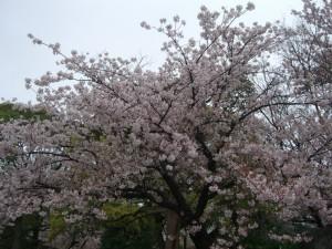 今日の桜5日
