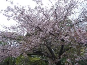 今日の桜7日
