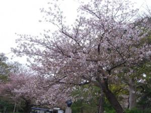 今日の桜8日