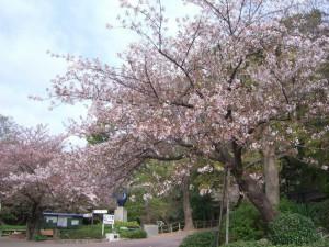 今日の桜9日