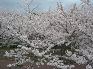 咲き誇る3日
