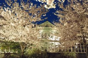 27年夜桜ハンター