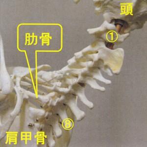 ナマケモノ頚椎