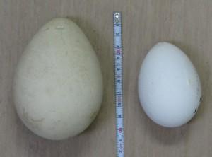 ペンギン2種の卵