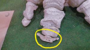 太郎の前肢骨格