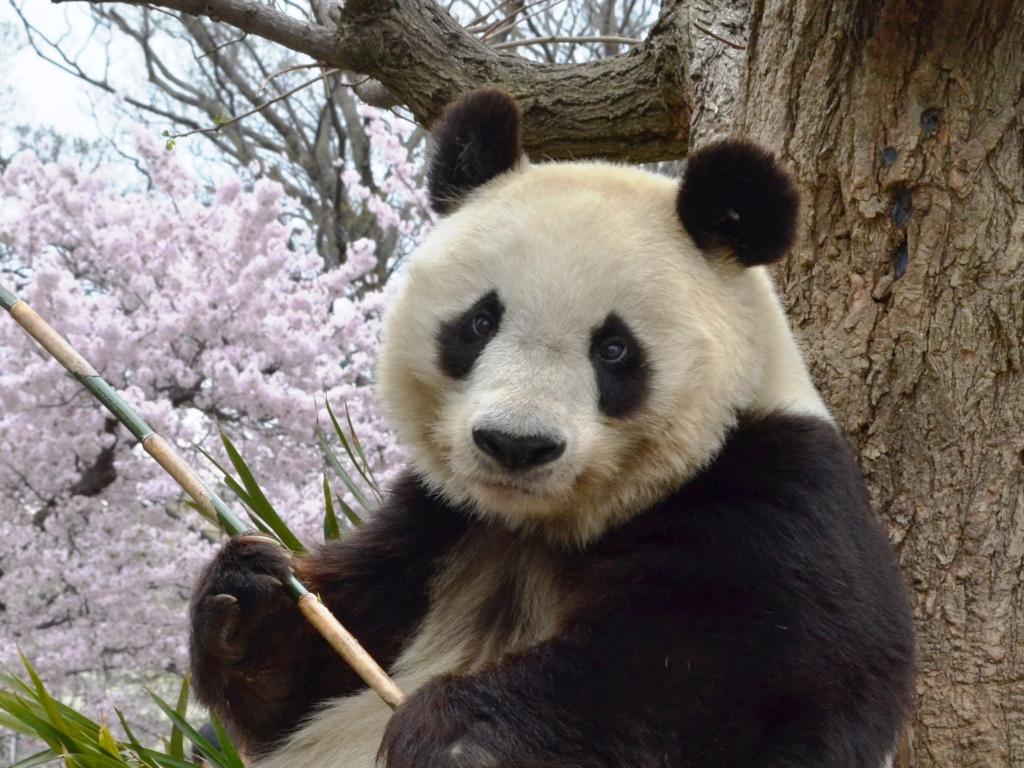 動物園 パンダ 王子