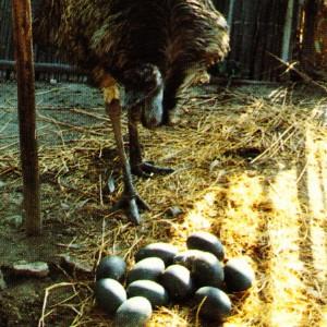 エミュー 卵