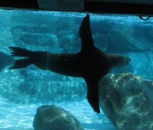 アシカ水中遊泳2678