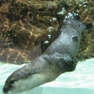 カワウソ水中遊泳 3002