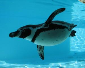 ペンギン水中飛行 7515