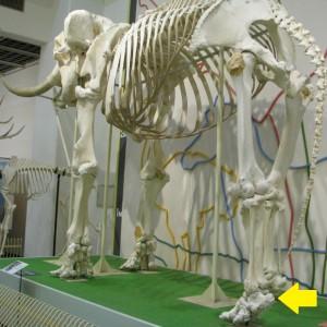 骨格標本3175