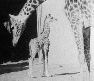 1956 キリン第一子縮小