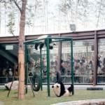 P.36 遊具で遊ぶ2頭のパンダ
